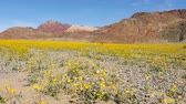 jedzenie : Death Valley Desert Flower Super Bloom - Spring Wideo