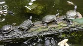 omnivore : Group of turtles resting on log