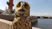 alışılmadık : Baby owl looking around day city Stok Video