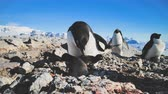 antarktida : Penguin Female with Babies. Close-up . Antarctica Shot Of Adelie Penguins Family. Mother Cares Of Her Children. Behavior Of Wild Animals In Harsh Environment. Antarctic Landscape. 4k Footage. Dostupné videozáznamy