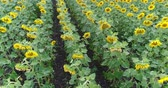 blooming : Sunflower on the field, Aerial view, Along the rows, flight, view from above, a lot of plants, movement