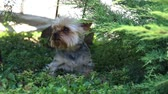 родословная : Cute and furry dog, Little dog playing in the grass