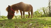 brown little horse grazes on a meadow, little horse eats grass, close-up, brown pony