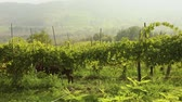 Beautiful panoramic view of the Italian valley with vineyards, a pony eats grapes. panorama Vídeos