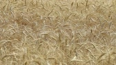 cevada : Yellow ears wheat sway in the wind, the background field of ripe ears of wheat, Harvest, Wheat growing on field, video, Close-up, side view Vídeos