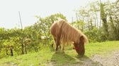 pony : brown pony grazes on a meadow, pony eats grass, close-up