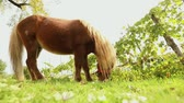 уздечка : brown little horse grazes on a meadow, little horse eats grass, close-up, brown pony