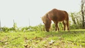 pony : Brown little horse grazes on a meadow, little horse eats grass, brown pony