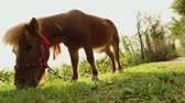 пони : brown pony is eating grass in the back of the camera, pony is eating grass, close-up