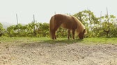 pony : brown little horse grazes on a meadow, little horse eats grass, close-up, brown pony