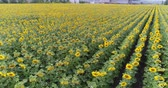 sestup : Sunflower on the field, Aerial view, Along the rows, flight, view from above, a lot of plants, movement