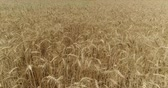 corn : Yellow ears wheat sway in the wind, the background field of ripe ears of wheat, Harvest, Wheat growing on field, Aerial view, View from above, air, 4k, video Stock Footage