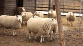 jehněčí : The sheep on the farm looks at the camera, shot close-up. Sheep has a presentable, clean look. Frames are beautiful for your reportage video or video about animals and farm Dostupné videozáznamy