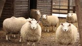 yünlü : The sheep on the farm looks at the camera, shot close-up. Sheep has a presentable, clean look. Frames are beautiful for your reportage video or video about animals and farm Stok Video