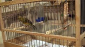 shallow depth field : Canary bird in a cage with jumping from perch