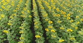 спуск : Sunflower on the field, Aerial view, Along the rows, flight, view from above, a lot of plants, movement