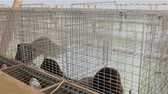 olhos castanhos : The mink in the cage, close-up, mink on the farm, Farm interior Stock Footage