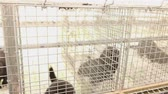 whiskers : The mink in the cage, close-up, Otter on the farm