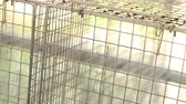 fechado : White mink looking out of its cage, White mink in a metal cage, close-up