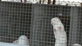blahobyt : White mink looking out of its cage, White mink in a metal cage, close-up