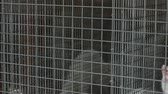 grating : White mink looking out of its cage, White mink in a metal cage, close-up