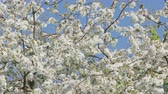 Клумба : Tree branches in blossom against a blue sky background. Close-up shot