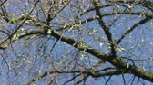 gałązka : Tree branches with buds against a blue sky background. Close-up shot
