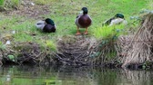 Three male ducks relaxing by the side of the lake Dostupné videozáznamy