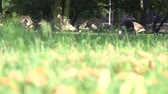střední : Geese eating grass on the Esplanade in Boston, Massachusetts. Out of focus grass in the foreground