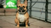 Small French bulldog on a leash, close-up