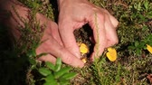 cantharellus : hand reaching out to pick a chanterelle Stock Footage