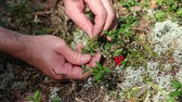 cowberry : handful of cowberry Stock Footage