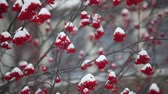 üvez ağacı : bunches of red mountain ash covered with snow camera in motion