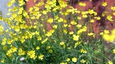 barevný : wild yellow primroses close to soft focus