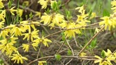 Yellow flowers of berberis in the garden springtime camera motion close up. Stok Video