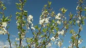 cachos : White flowers on sakura branches against the background of a bright blue sky Vídeos