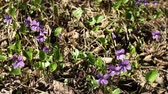 viyola : violets spring primrose in forest Camera motion Stok Video