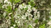 fragilidade : Blooming cherry orchard white flowers close-up Vídeos