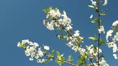 Blooming cherry orchard white flowers close-up Stok Video