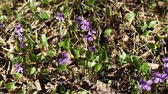 собака : violets spring primrose among last years leaves camera motion Стоковые видеозаписи
