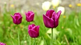 burgundy tulips Camera motion close up. Stock Footage