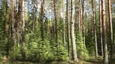 mysterious Pine forest in summer landscape, panorama Stok Video