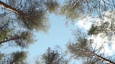 tontura : Dizziness tall trees rotate over head in blue sky Stock Footage