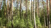 titokzatos : Pine forest summer sunny day panorama