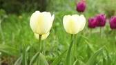 virág feje : yellow  tulips on green field camera motion close up Stock mozgókép