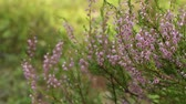 desfocagem : Blooming Heather pink close to, wildlife  evergreen blurred background Stock Footage