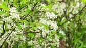 cherry blossom branch : white flowers blossoming cherry orchard, springtime,  sunny day