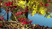 colheita : Bunches of red mountain ash on the branches in autumn Vídeos