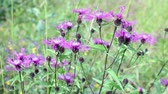 devedikeni : bright purple  flowers of wild thistle swing close up.