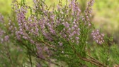 funda : Blooming evergreen Heather close to, camera motion Stok Video